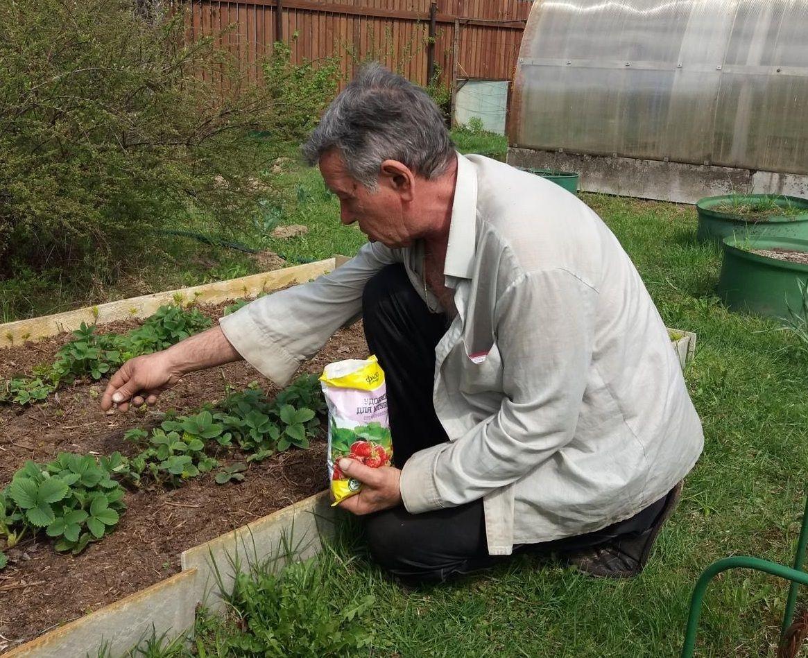 Уход за клубникой весной: подкормка, обработка, пересадка и полив