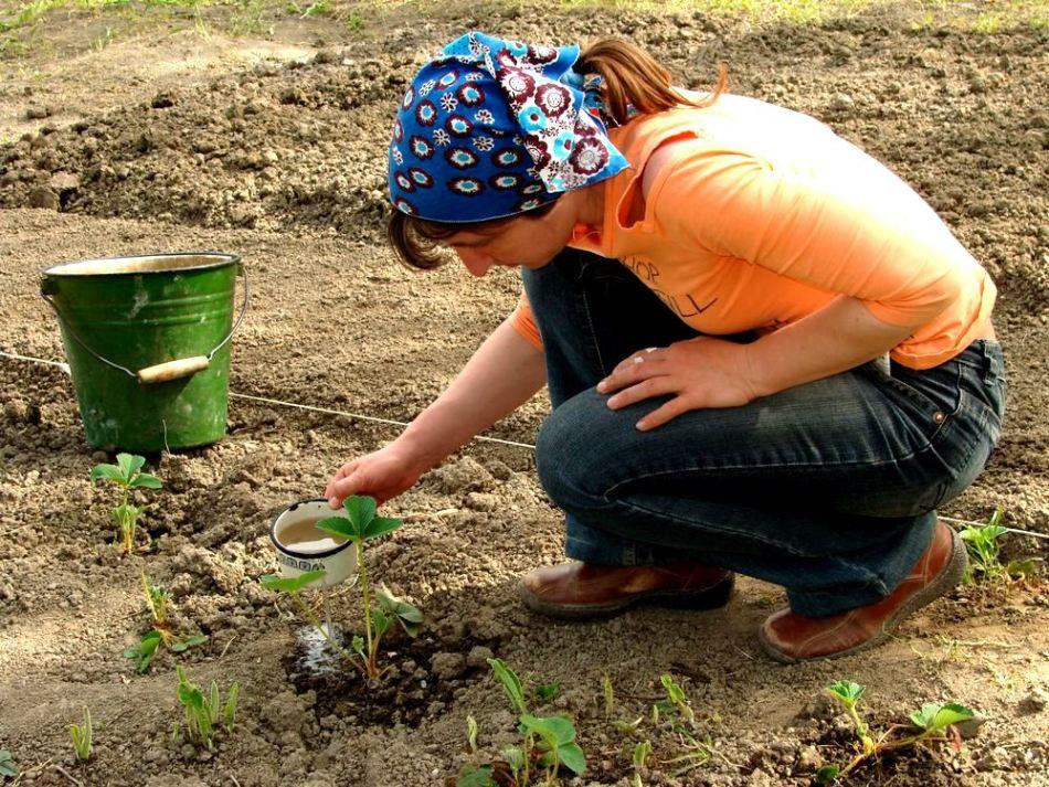 Обработка клубники весной от вредителей и болезней, когда и как лучше проводить