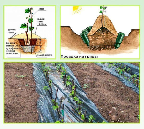 Как посадить виноград: пошаговая инструкция