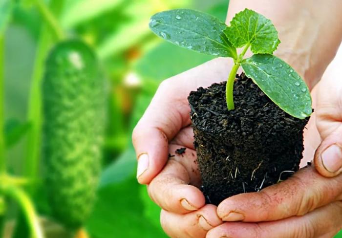Апрель - время сажать огурцы: всё важное от обработки семян до досвечивания