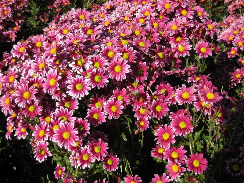 Цветок хризантема: посадка и уход, фото, выращивание из семян