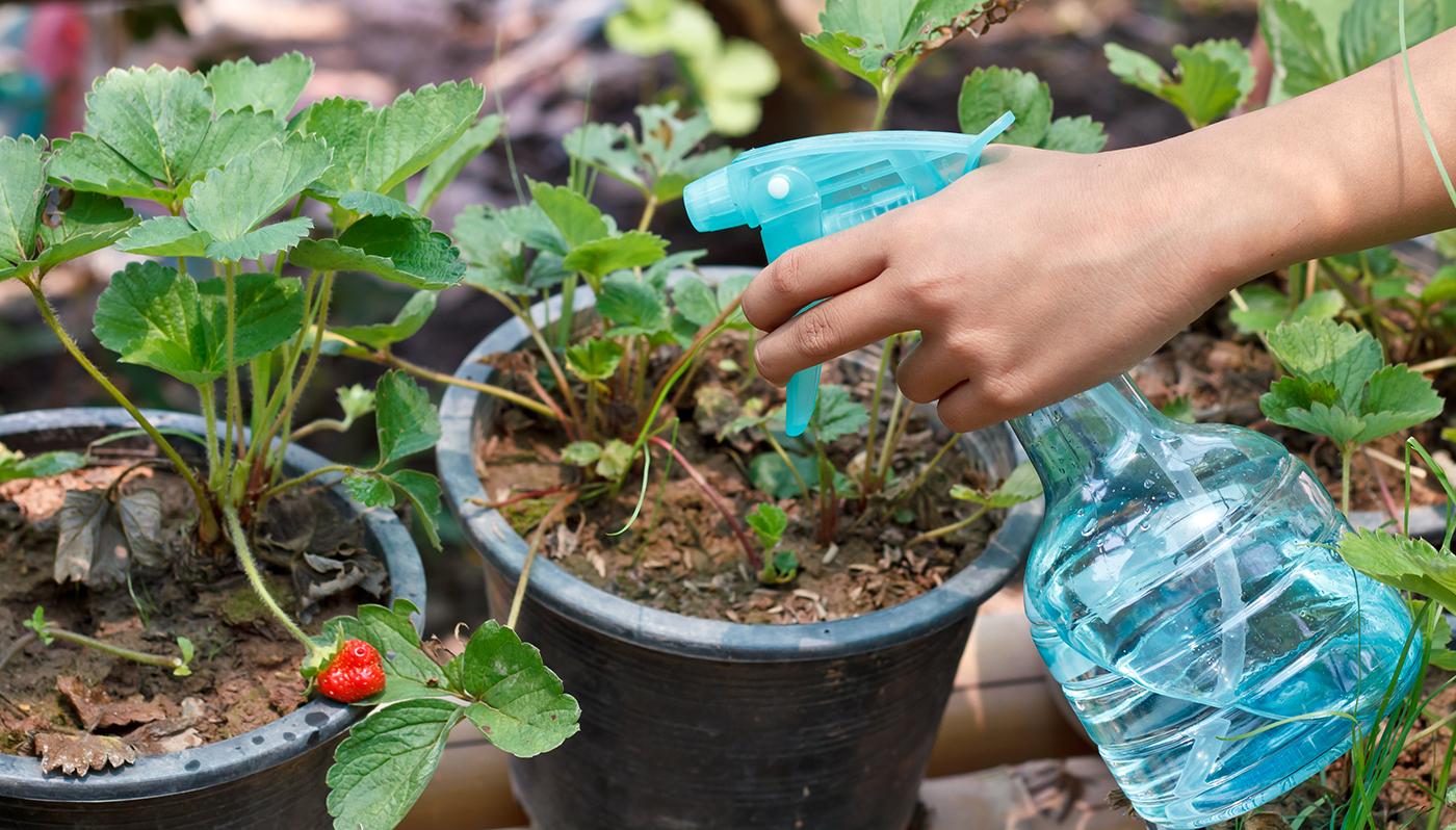 Обработка клубники весной от болезней и вредителей. Все нюансы