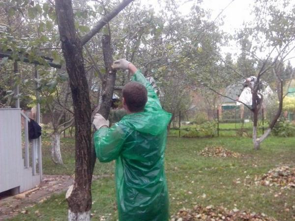 Как осенью обрезать яблоню