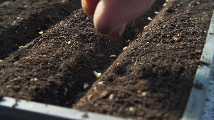 Как поливать рассаду помидоров после пикировки: правильный полив на каждом этапе