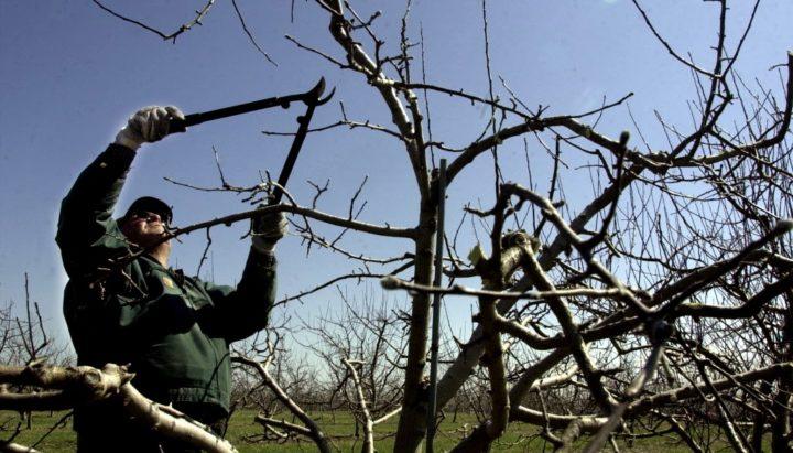 Как правильно и когда лучше обрезать плодовые деревья осенью или весной