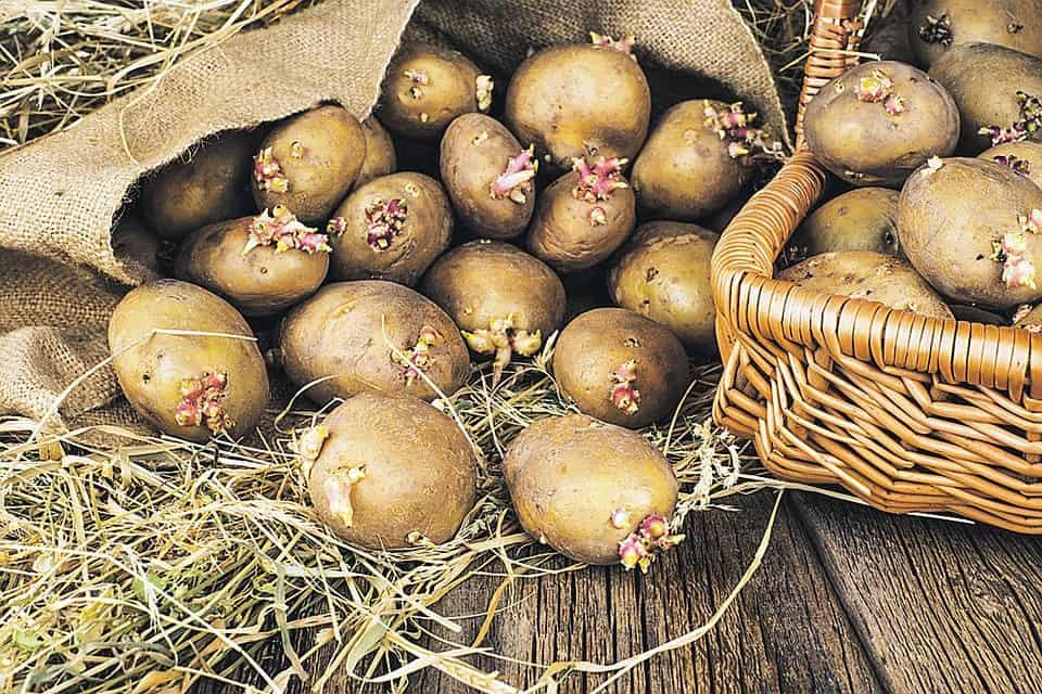 Как подготовить картофель к посадке в грунт: проращивание, обработка, видео