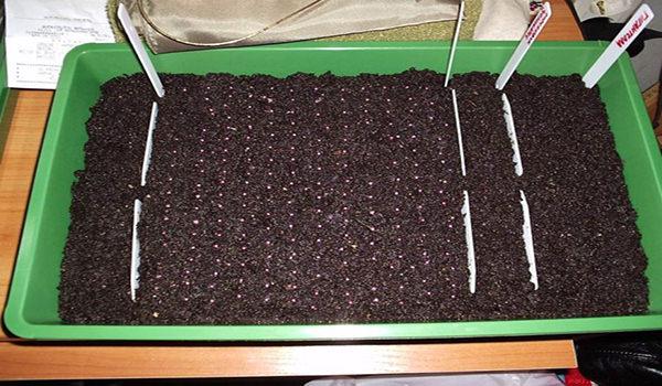 Клубника в домашних условиях: подготовка, посев, сорта для домашнего выращивания
