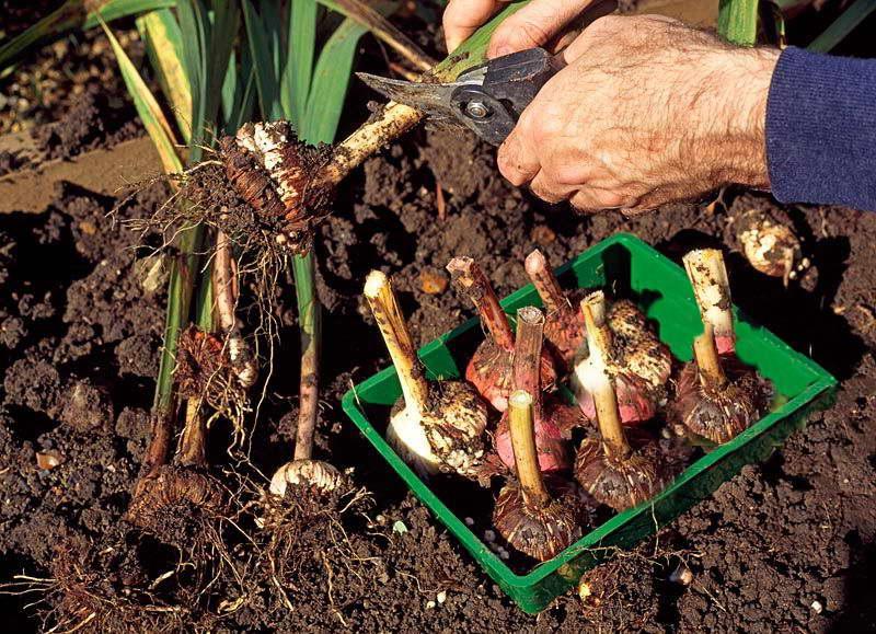 Когда сажать гладиолусы в открытый грунт весной 2019, правильный  уход, советы