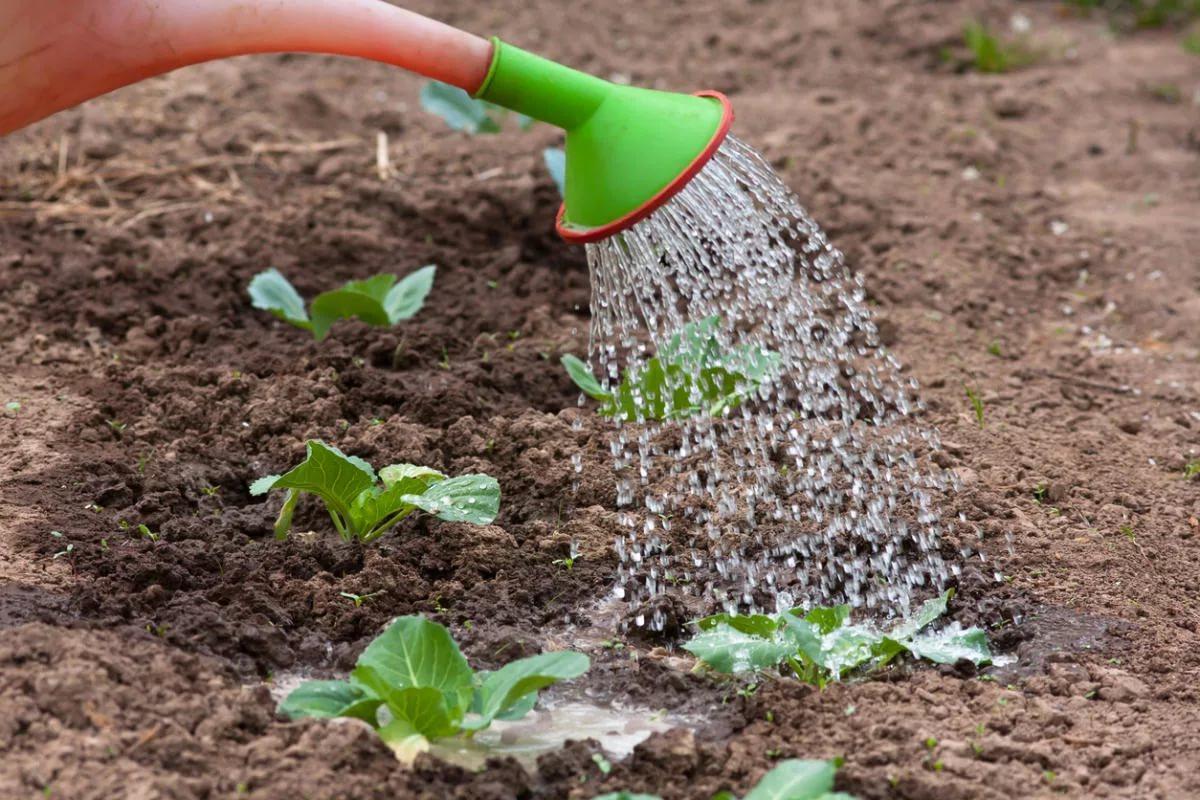 Когда сеять капусту на рассаду в 2019 году по Лунному календарю