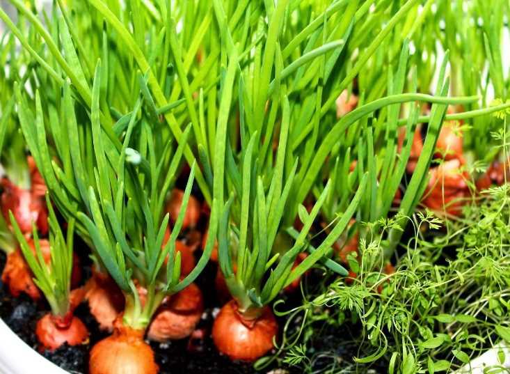 Как сажать лук правильно в 2019 году весной: важные этапы