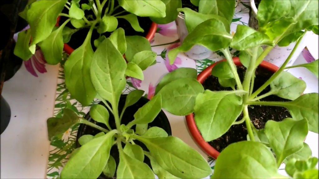У рассады петунии желтеют листья весной, как этого избежать или вылечить?