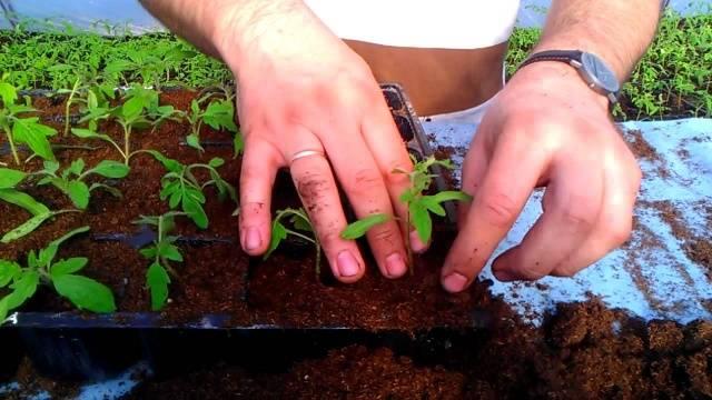 Подкормка рассады томатов и перца: народные средства, советы