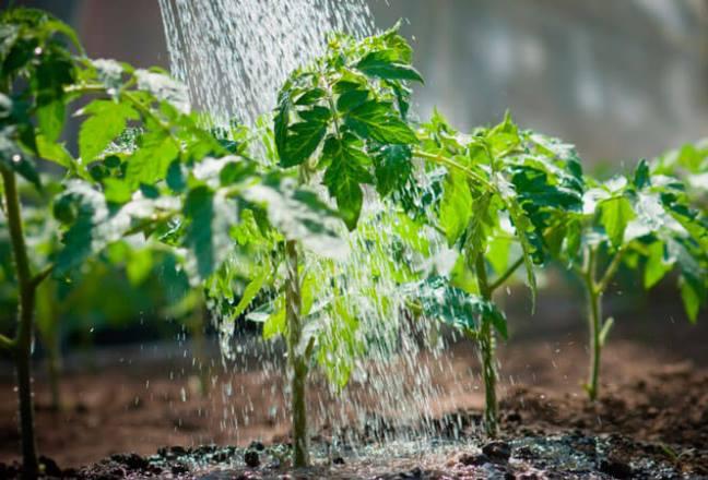 Подкормка рассады томатов и перца: какие удобрения выбрать, советы по минеральным, органическим, народным удобрениям, какие подкормки лучше