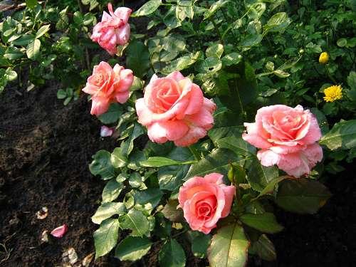 Правильная посадка роз