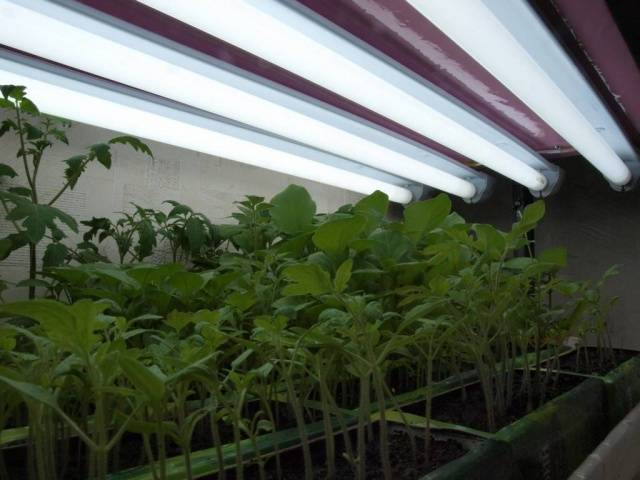 Рассада помидор: почему желтеют листья и плохо растёт