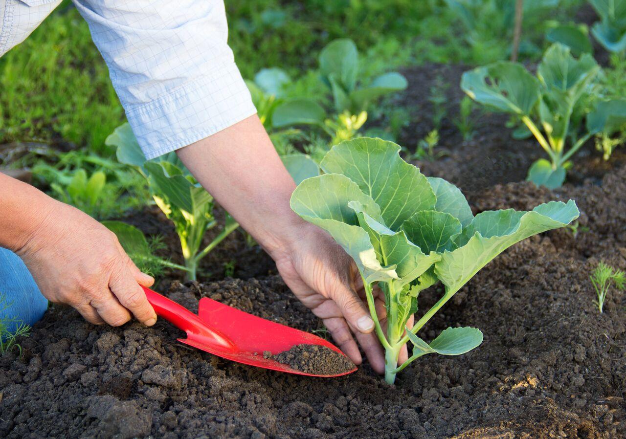 Выращивание ранней капусты. Ранняя капуста: посадка и уход