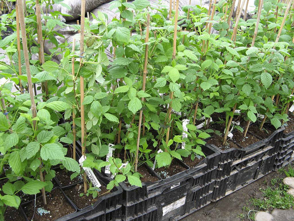 Посадка малины весной для начинающих - инструкции с фото и видео
