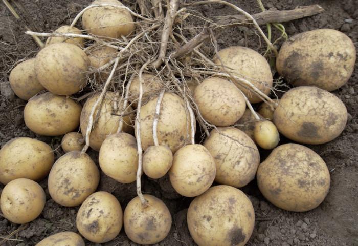 Сорта картофеля – выбираем сорт картофеля