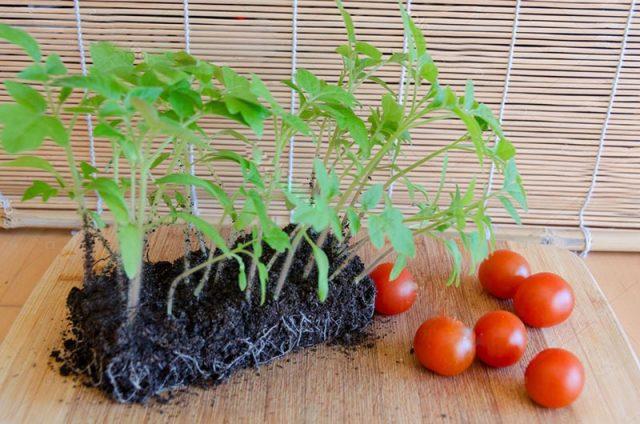 Почему не завязываются помидоры в теплице в апреле 2019 и что необходимо исправить - рекомендации