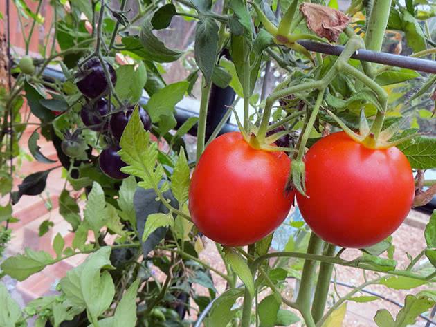 Почему помидоры кислые: чем подкормить, что делать, причины