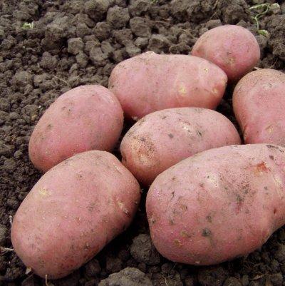 В поисках самого вкусного: находим идеальный сорт картофеля на посадку