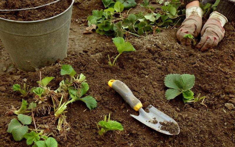 Весенний уход за клубникой после зимы: подкормка, обработка