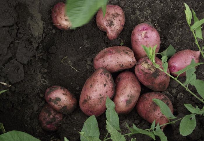 Выбираем лучшие сорта картофеля: особенности и региональные предпочтения